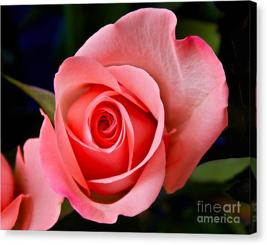A Loving Rose Canvas Print