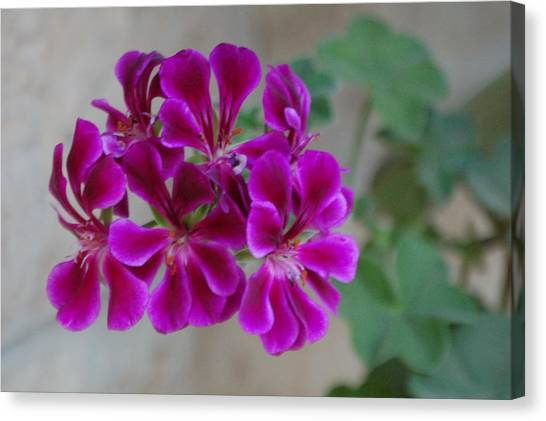 A Magenta Flower Canvas Print by Susan Heller