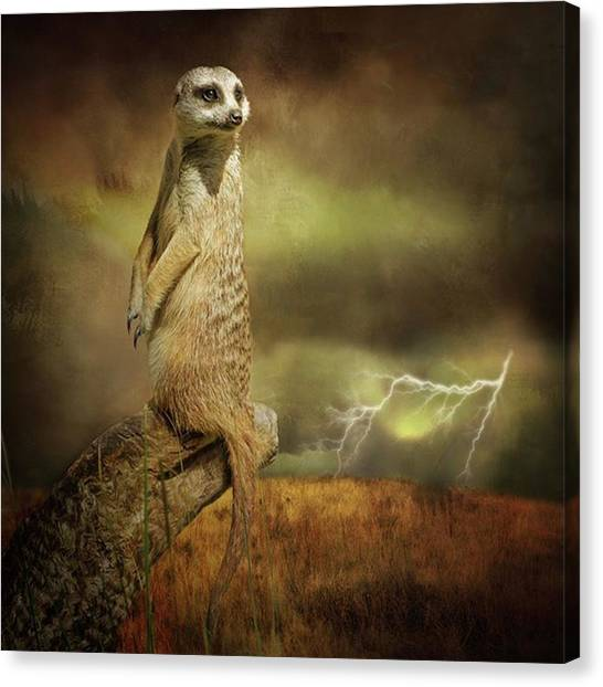 Lightning Canvas Print - A Meerkat Stands On Sentry Duty As A by Margaret Goodwin
