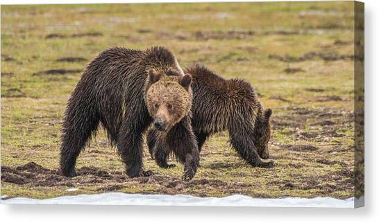 A Mini-mom And Yearling Canvas Print
