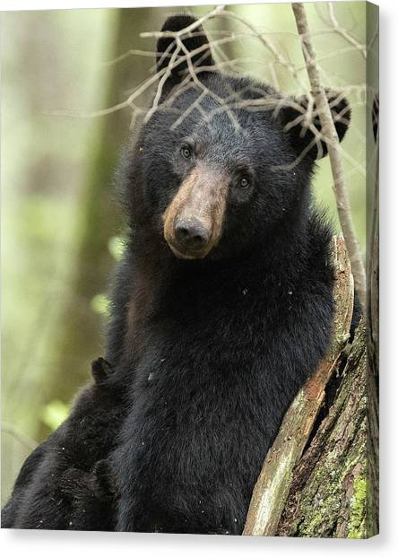 Black Bears Canvas Print - A Mothers Eyes by Everet Regal