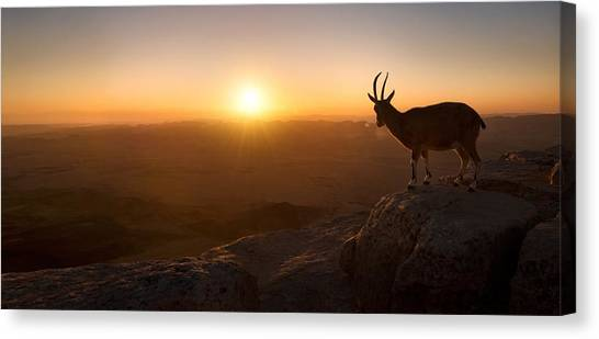 Goat Canvas Print - A New Day by Nadav Jonas