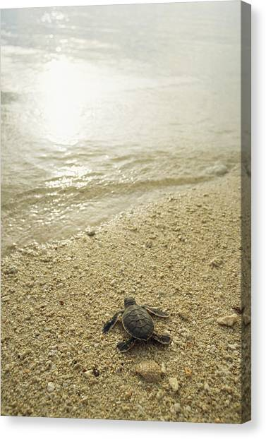 And Threatened Animals Canvas Print - A Newly Hatched Green Sea Turtle Making by Tim Laman
