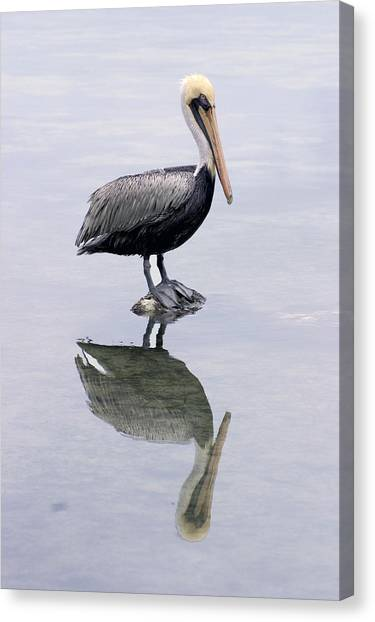 Canvas Print - A Noble Bird Is The Pelican by Carl Purcell