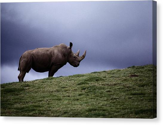 And Threatened Animals Canvas Print - A Northern White Rhinoceros At The San by Michael Nichols
