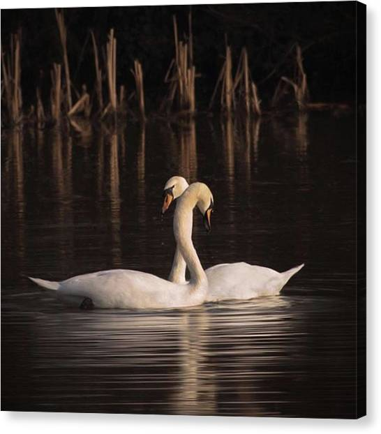 Animal Canvas Print - A Painting Of A Pair Of Mute Swans by John Edwards