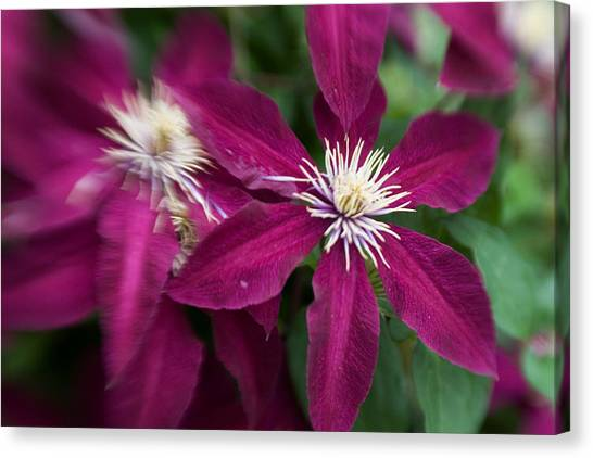 A Pair Of Clematis Flowers Canvas Print by Sandy Belk