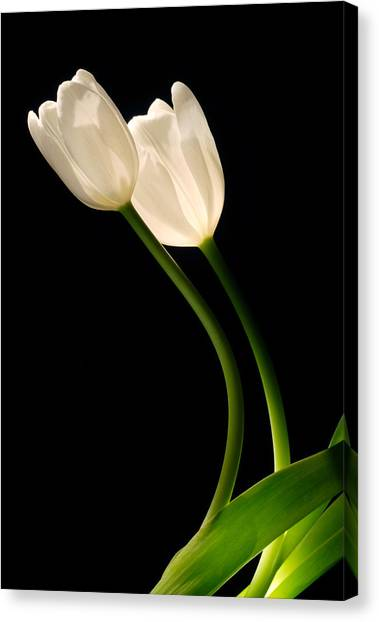 A Pair Of White Tulips Canvas Print