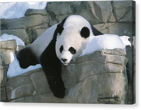 Sleeping Giant Canvas Print - A Panda Rests In The by Taylor S. Kennedy