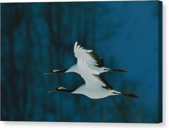 And Threatened Animals Canvas Print - A Perfect Formation Of Two Japanese Or by Tim Laman