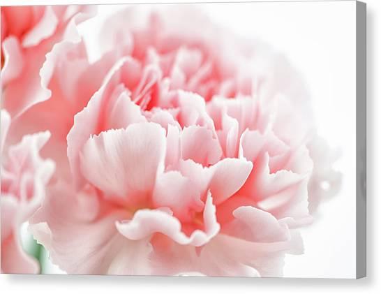 A Pink Carnation Canvas Print