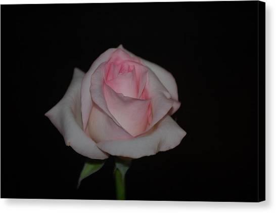 Canvas Print - A Pink Rose by Susan Heller