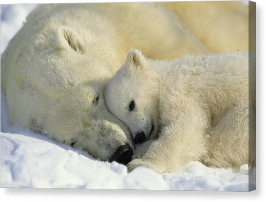 And Threatened Animals Canvas Print - A Polar Bear And Her Cub Napping by Norbert Rosing