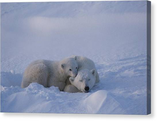 And Threatened Animals Canvas Print - A Polar Bear Cub Ursus Maritimus Rests by Tom Murphy