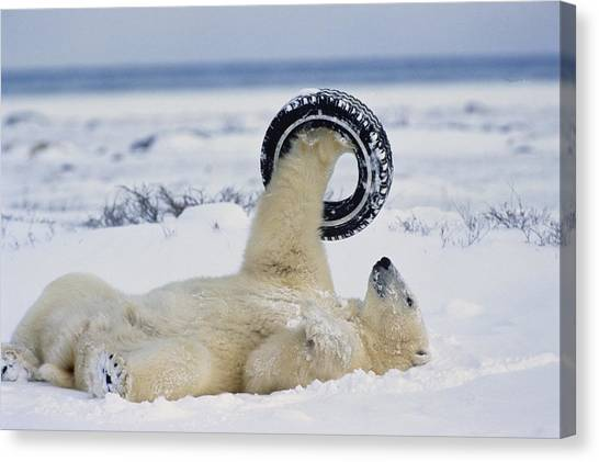 And Threatened Animals Canvas Print - A Polar Bear Plays With by Norbert Rosing
