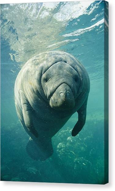 And Threatened Animals Canvas Print - A Portrait Of A Florida Manatee by Brian J. Skerry
