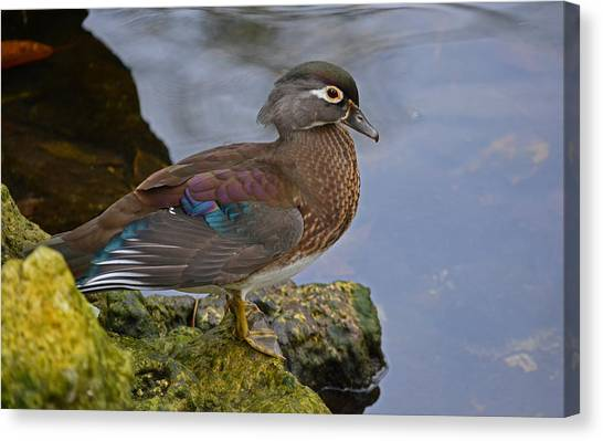 A Pretty Female Painted Wood Duck Canvas Print