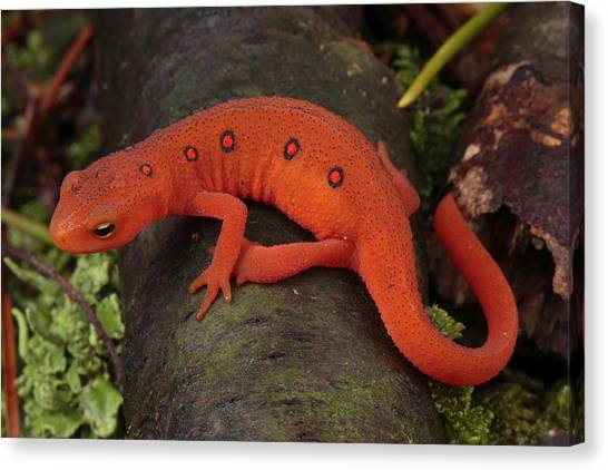 Newts Canvas Print - A Red Eft Crawls On The Forest Floor by George Grall