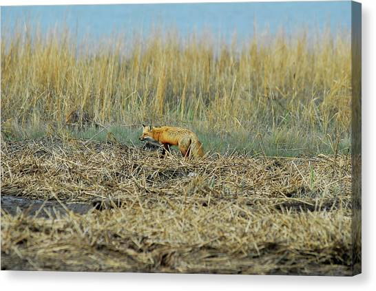 A Red Fox Hunting Canvas Print