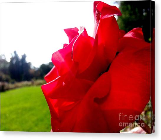 A Rose In The Sun Canvas Print