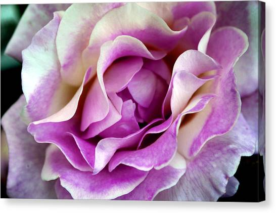 Canvas Print - A Rose Is A Rose by Evelyn Patrick