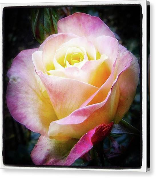 Canvas Print featuring the photograph A Rose Is A Rose Is A Rose, Variation by Mr Photojimsf
