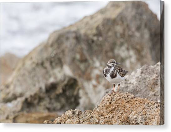 A Ruddy Turnstone Perched On The Rocks Canvas Print