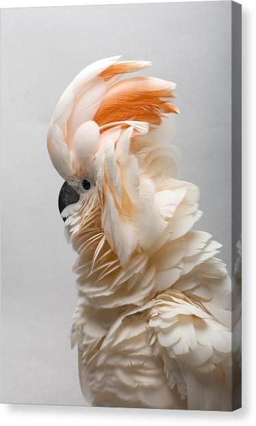 Cockatoo Canvas Print - A Salmon-crested Cockatoo by Joel Sartore