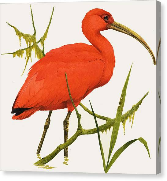 Ibis Canvas Print - A Scarlet Ibis From South America by Kenneth Lilly