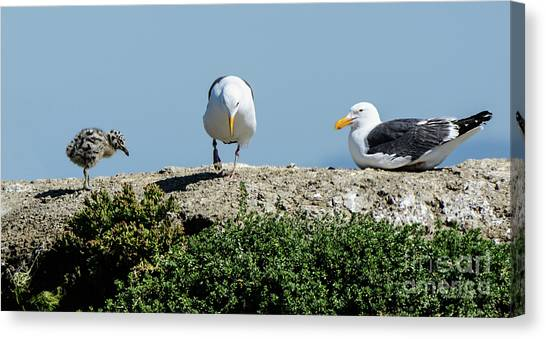 A Seagull Chick With Mom And Dad Canvas Print