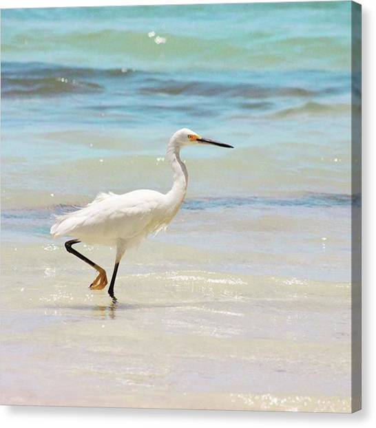 Canvas Print - A Snowy Egret (egretta Thula) At Mahoe by John Edwards