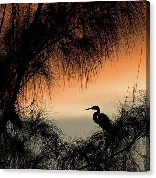 Animal Canvas Print - A Snowy Egret (egretta Thula) Settling by John Edwards