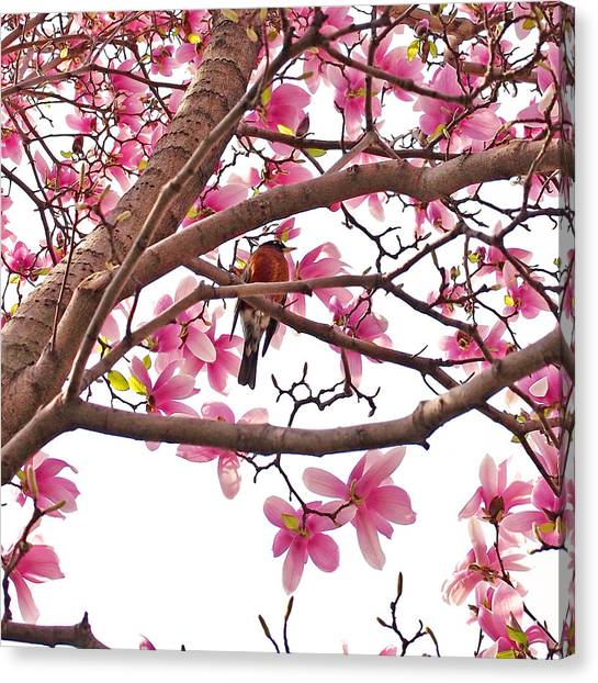 Squares Canvas Print - A Songbird In The Magnolia Tree by Rona Black