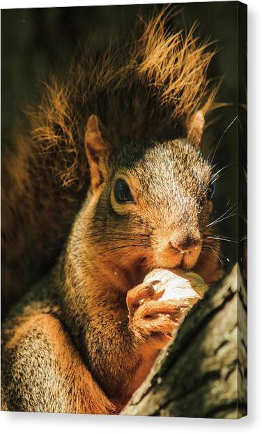 A Squirrel And His Nut Canvas Print