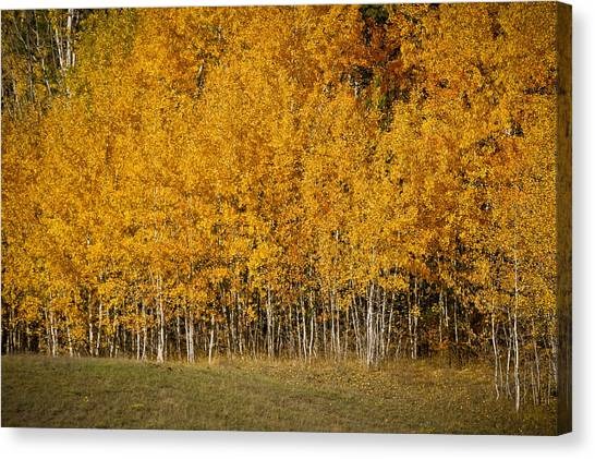 A Stand Of Aspen Canvas Print