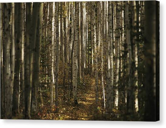 Northwest Territories Canvas Print - A Stand Of Birch Trees Show by Raymond Gehman