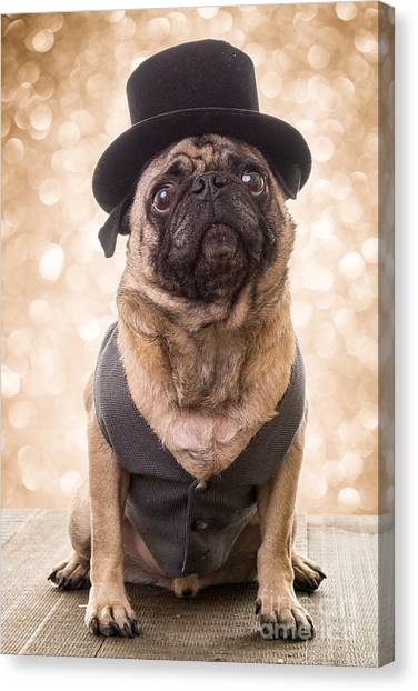 Pugs Canvas Print - A Star Is Born - Dog Groom by Edward Fielding