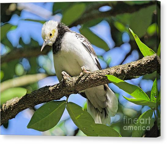 A Starling To Remember Canvas Print