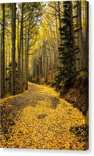 A Stroll Among The Golden Aspens  Canvas Print