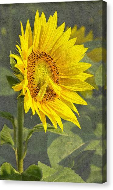 A Sunflower's Prayer Canvas Print