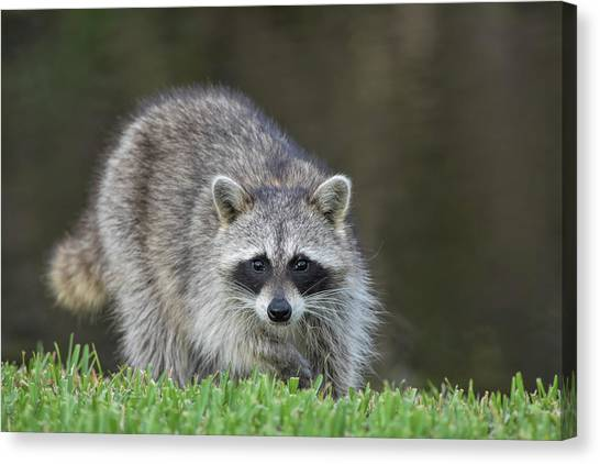 A Surprised Raccoon Canvas Print