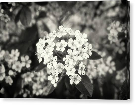 A Thousand Blossoms Sepia 3x2 Canvas Print