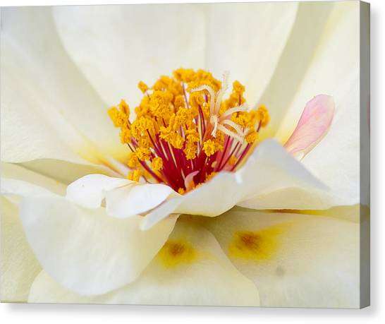 A Touch Of Pink Canvas Print by David Waldrop