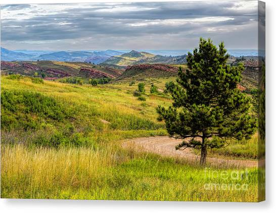 Colorado State University Canvas Print - A Tree Among The Hogs by Jon Burch Photography