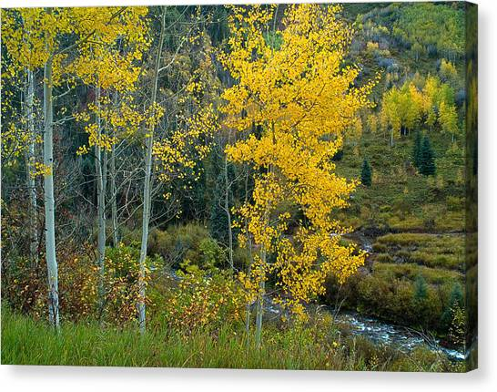 A Walk In The Aspen Forest Canvas Print