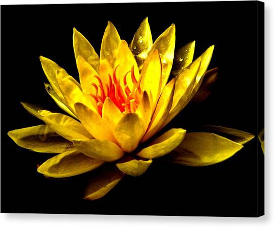 A Water Lily Canvas Print