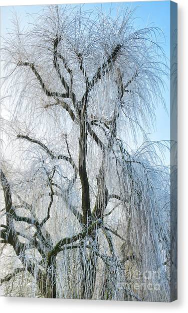 Weeping Willows Canvas Print - A Weeping Winter Willow  by Tim Gainey
