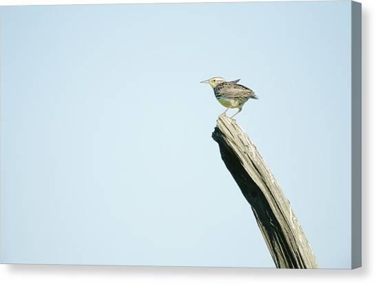 Meadowlarks Canvas Print - A Western Meadowlark Sits On A Piece by Joel Sartore