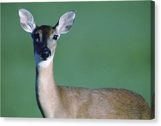 Prairie Sunsets Canvas Print - A White-tailed Deer On The Prairie by Joel Sartore