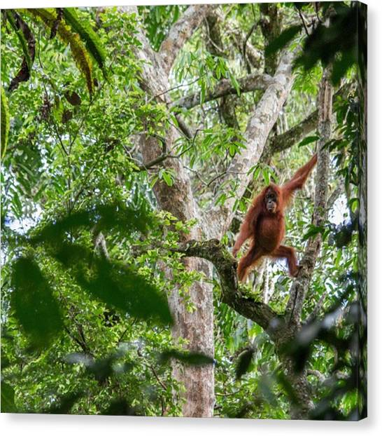 Orangutans Canvas Print - A Wild Orang Utan Swinging Around In by Freddie Tay